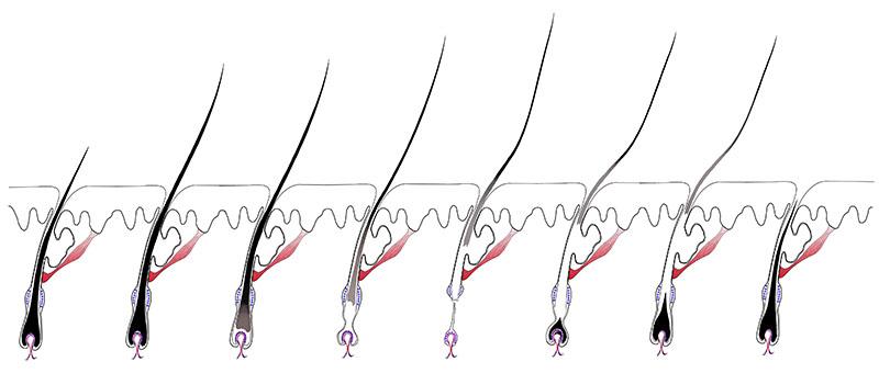 cycle de croissance du poil